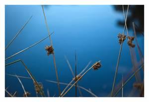 Sumpf Grass